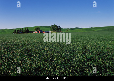 Green spring wheat field with farmhouse and red barn Palouse Valley Palouse Washington USA - Stock Photo