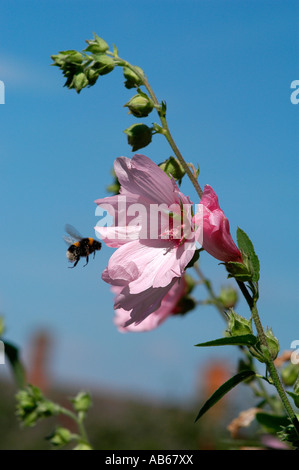 A bumble bee flies towards waving Lavatera flowers on the summer breeze - Stock Photo