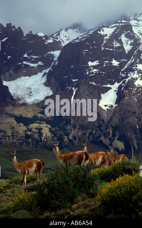 Female GUANACOS Lama guanicoe babies in TORRES DEL PAINE NP with ANDES PEAK behind PATAGONIA CHILE - Stock Photo