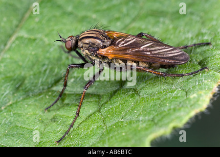 Empis tessellata dance flie on leaf showing detail and markings potton bedfordshire - Stock Photo