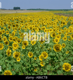 sunflowers in the Alentejo, Portugal - Stock Photo