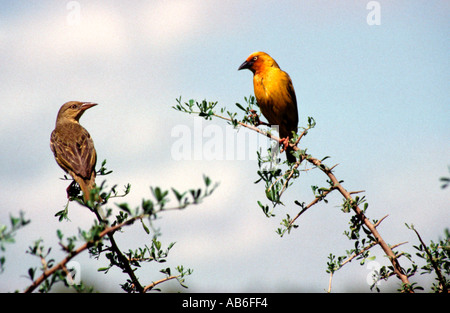 A pair of yellow weaver birds male female discussing on a thornbush in South Africa - Stock Photo