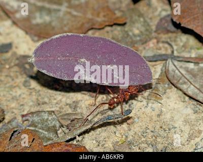 Leaf Cutter Ant  ( Atta cephalotes ) carrying a leaf - Trinidad tropical rainforest