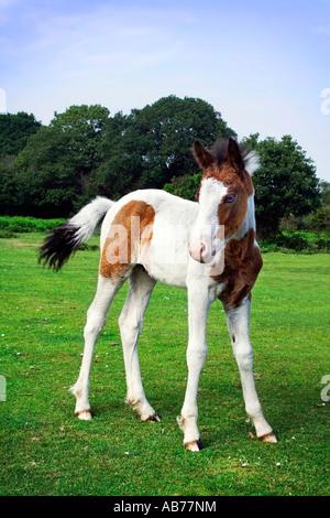 blue eyed wild pony - Stock Photo