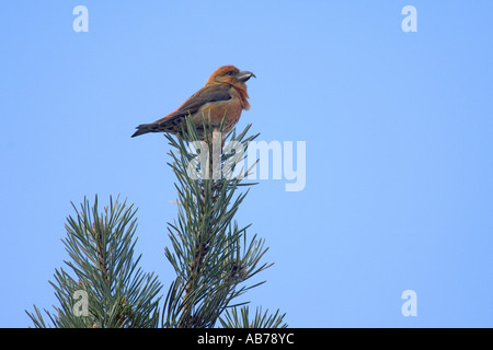 Common crossbill Loxia curvirostra adult male in Scots pine Surrey England April - Stock Photo