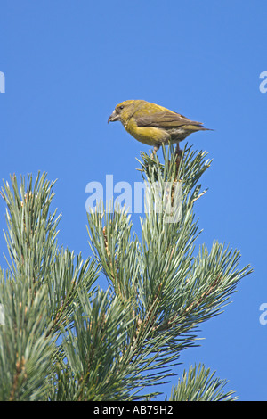 Common crossbill Loxia curvirostra adult female in Scots pine Surrey England April - Stock Photo