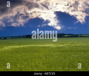 GB - GLOUCESTERSHIRE:  Barley Field in the Cotswolds - Stock Photo