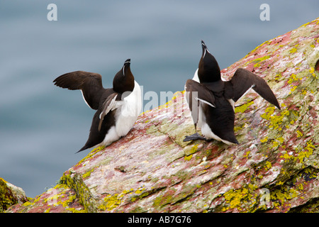 2 Razorbills Alca torda standing on rock with heads up and wings back lookinf alert skokholm - Stock Photo