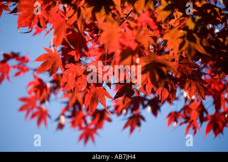 A Japanese acer tree in Autumn in Malvern Worcestershire UK - Stock Photo