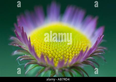 FLOWER Aster closeup, cultivated, Bellevue Botanical Garden,  Washington State USA - Stock Photo