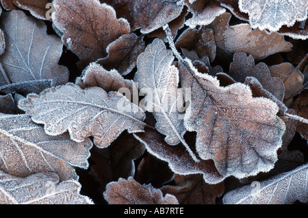 sessile oak (Quercus petraea), leaf in glazes frost, Germany - Stock Photo