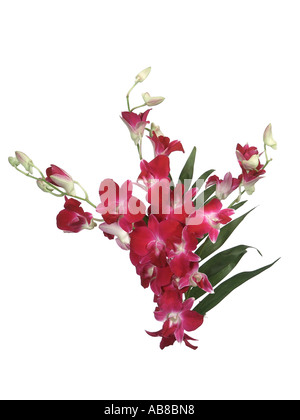antelope orchid (Dendrobium canaliculatum), bouquet - Stock Photo
