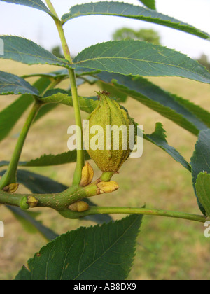 bitter-nut hickory, bitternut hockory (Carya cordiformis), branch with fruit - Stock Photo