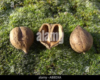 bitter-nut hickory, bitternut hockory (Carya cordiformis), fruits - Stock Photo