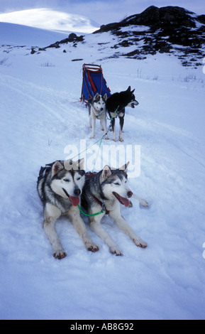Sled dogs resting after a hard day hauling along the Kungsleden trail in Lappland Northern Sweden - Stock Photo