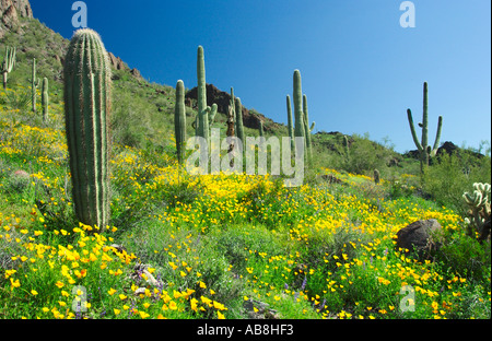 Cactus garden and poppies in Picacho State Park Arizona USA - Stock Photo
