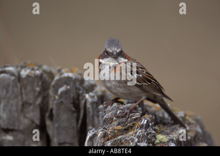 Rufous Collared Sparrow sitting on lichen covered rock - Stock Photo