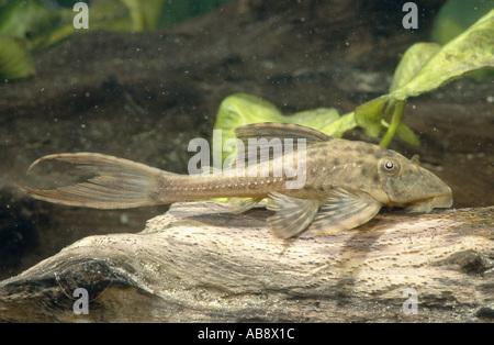 catfish (cf. Cochliodon spec.), rasping on dead wood, Aug 03. - Stock Photo