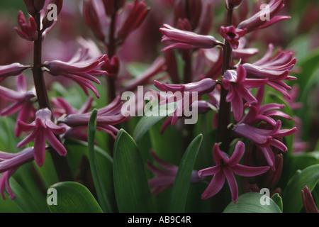 Jacinthe (Hyacinthus orientalis), flowers - Stock Photo