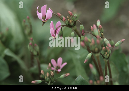 shootingstar, American cowslip (Dodecatheon meadia), blooming plant - Stock Photo