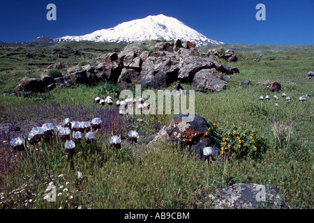 bearded iris (Iris elegantissima, Iris iberica ssp. elegantissima), Ararat with bearded iris, Turkey - Stock Photo