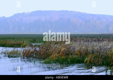 Bulrush in Haemeenkyroe, Finland - Stock Photo