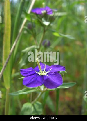 large venus's-looking-glass (Legousia speculum-veneris), flower, Germany, Hesse - Stock Photo