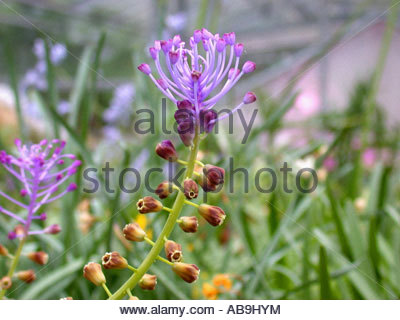 feather hyacinth (Muscari comosum), blooming plant, the blue flowers are sterile and serve only for attraction - Stock Photo