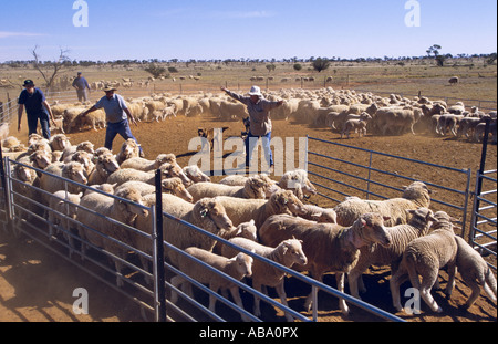 Yarding sheep near Broken Hill, New South Wales, Australia, horizontal, - Stock Photo