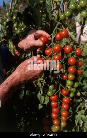 Harvesting tomatoes - Stock Photo