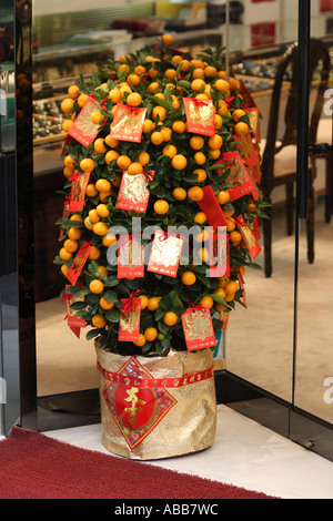 Chinese New Year Miniature Orange Trees With Red Envelopes Attached - Stock Photo