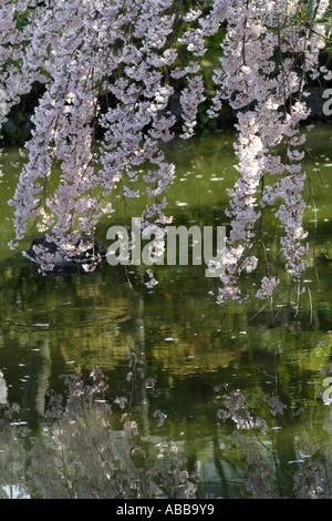 Cherry Blossoms in Shin-en Garden inside Heian Shrine, Kyoto, Japan - Stock Photo