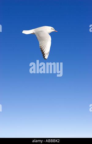 Larus Ridibundus juvenile Black headed Gull flying in blue sky - Stock Photo