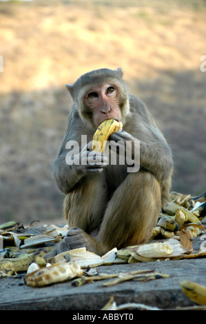 Rhesus macaque (Macaca mulatta) is sitting in in a pile of banana peel eating a banana with its hands Galta canyon - Stock Photo