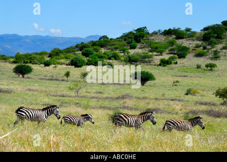 Wildlife four zebras one after another in the savannah of Nechisar National Park near Arba Minch Ethiopia - Stock Photo