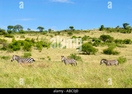 Wildlife three zebras one after another in the savannah of Nechisar National Park near Arba Minch Ethiopia - Stock Photo
