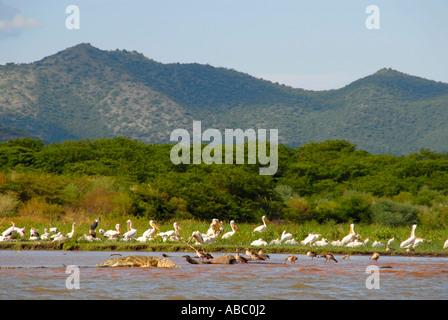 Wildlife crocodiles pelicans and water birds in Chamo Lake Nechisar National Park near Arba Minch Ethiopia - Stock Photo
