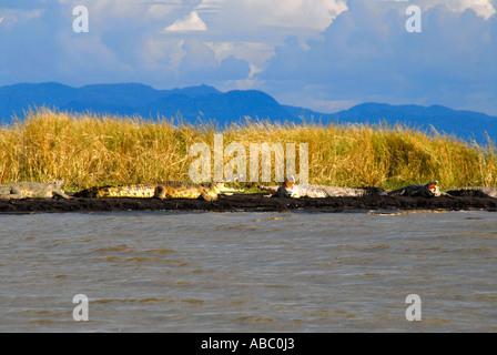Wildlife big crocodiles with wide open muzzles at the shore of Chamo Lake Nechisar National Park near Arba Minch - Stock Photo