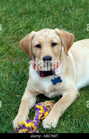 Puppy Labrador dog with a toy of knotted rope - Stock Photo