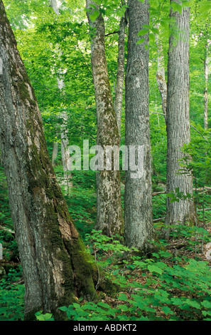 Sugar Maples, Acer saccharum, in an old growth hardwood forest in The Bowl Natural Area in NH's White Mountains. - Stock Photo