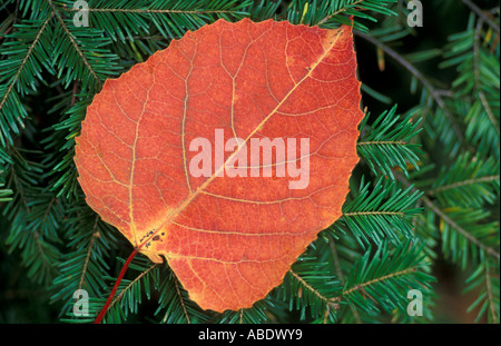 Ferdinand VT The leaf of a Bigtooth Aspen populus grandidentata on fir branches Northern Forest - Stock Photo
