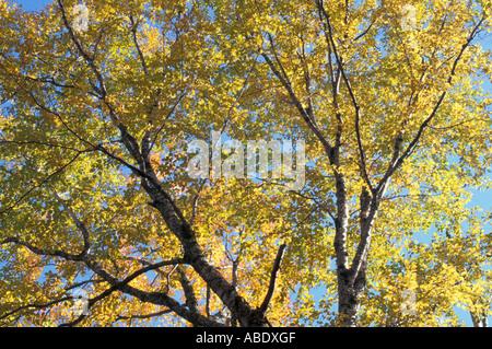 Crawford Notch State Park NH Yellow Birch Betula alleghaniensis Fall foliage - Stock Photo