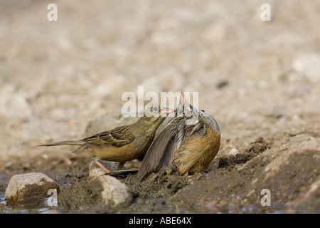 Ortolan Bunting courtship display. Male gently pulling female's crown feathers - Stock Photo