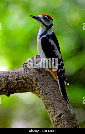 Great Spotted Woodpecker  Dendrocopos major. Natural history. Wildlife. - Stock Photo