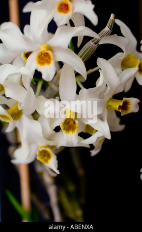 Dendrobium hetrocarpum Orchid Stock Photo