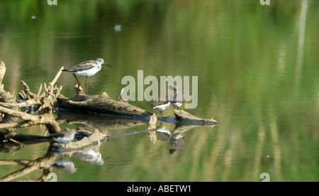 Three Greenshanks (Tringa nebularia) and a Redshank (Tringa totanus) on rotten twigs in a freshwater lake - Stock Photo