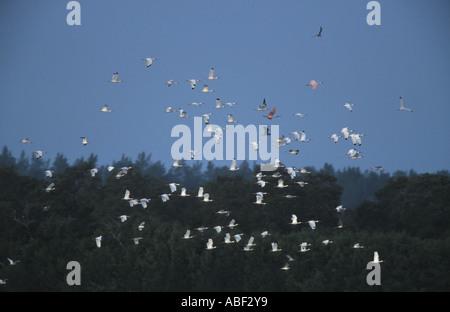 Sanibel Island FL A flock of White Ibis at Ding Darling National Wildlife Refuge - Stock Photo