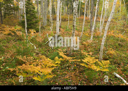 Paper birch trees betula papyrifera in fall near Witch Hole Pond in Maine s Acadia National Park - Stock Photo