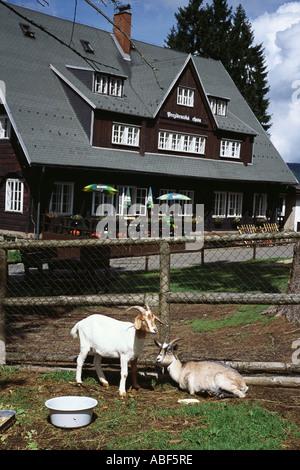 Two goats at Prezidentska Chata Nr Bedrichov Jizerske Hory Czech Republic Mountains europe eu - Stock Photo