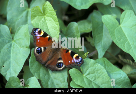 Peacock butterfly Inachis io at Mid Yare National Nature Reserve Norfolk England - Stock Photo